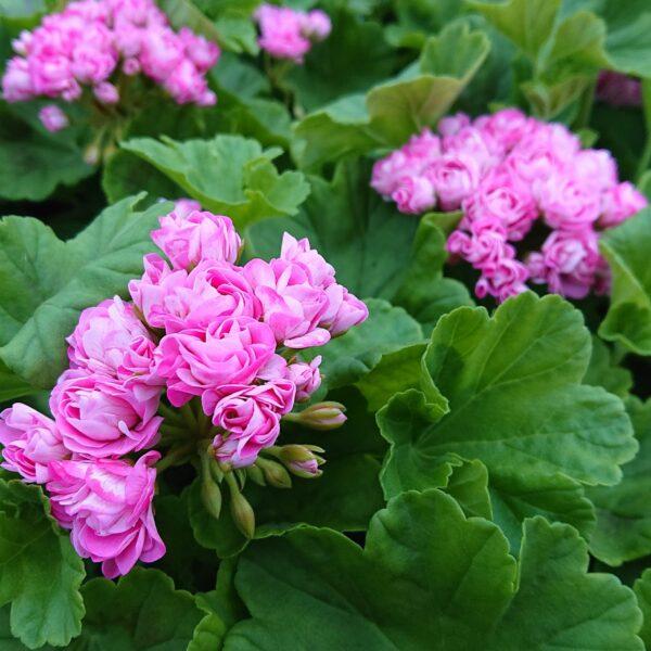 Pelargonium zonale 'Princesse Filippa ' (Special Pelargonie)