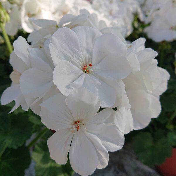 Pelargonium zonale (Alm. Pelargonie)