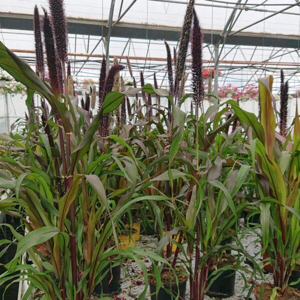 Pennisetum glaucum 'Purple Baron' (Lampepudsergræs)