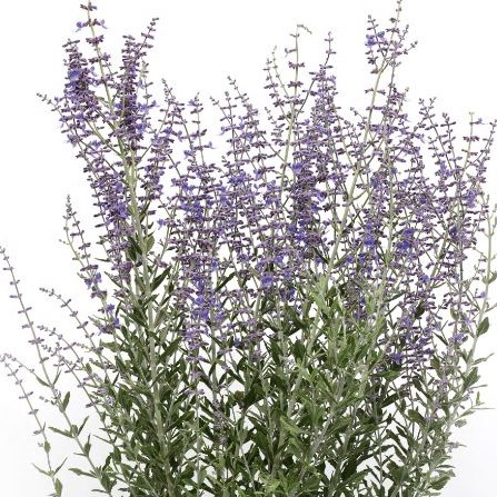 Perovskia atriplicifolia 'Blue Steel' (Russisk Salvie)