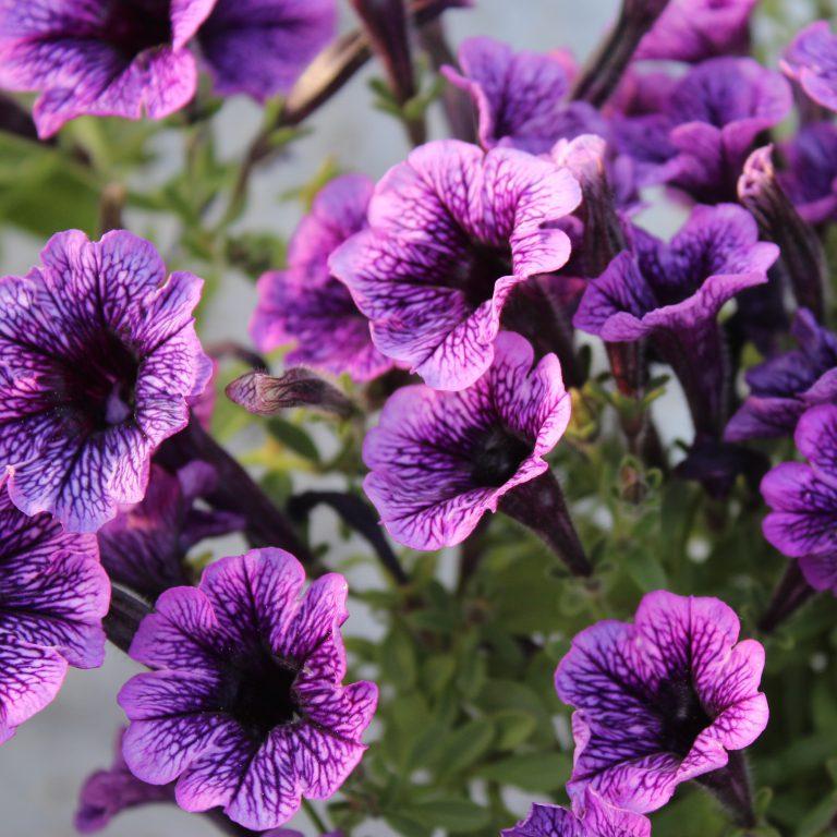 Petunia x hybrida 'Littletunia' (Småblomstret Hænge Petunia)