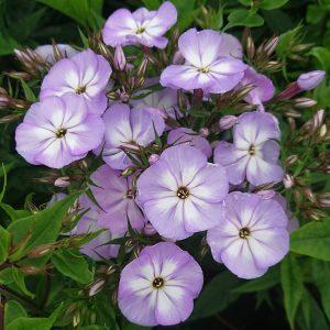 Phlox x paniculata 'Flame Lilac' (Høstfloks)