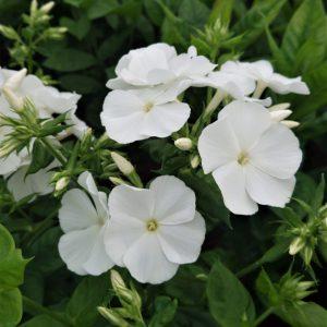 Phlox x paniculata 'Flame White' (Høstfloks)