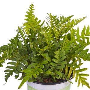 Polypodium vulgare 'Poldy' (Engelsød)