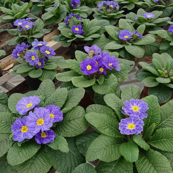 Primula vulgaris 'Delft' (Alm. Kodriver)