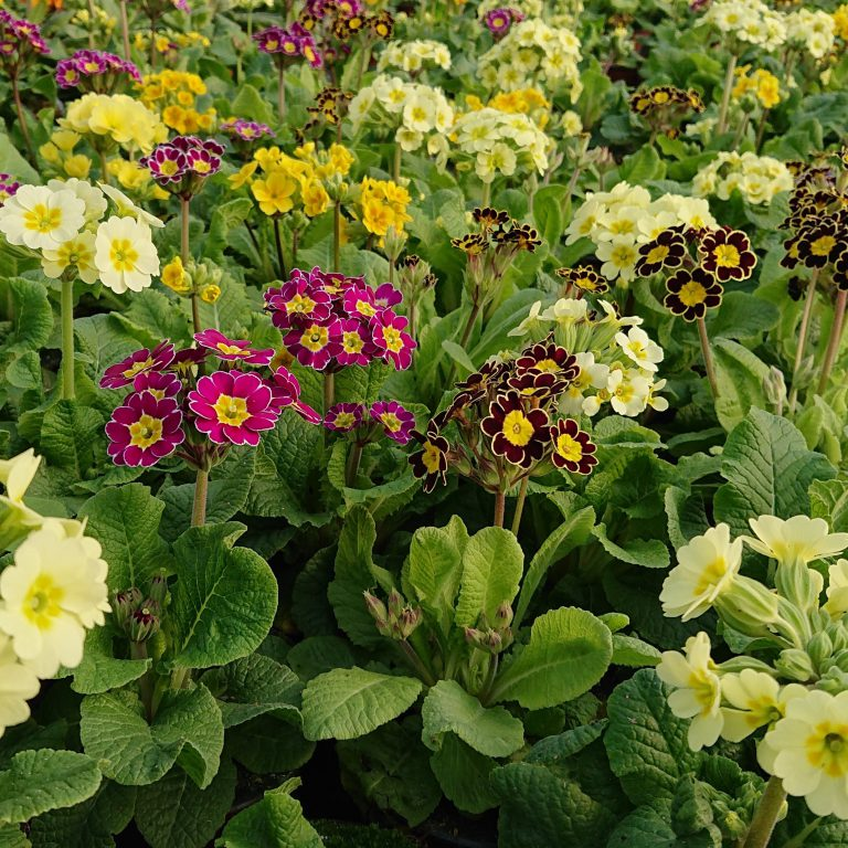 Primula veris 'Little Queen' (Haveprimula / Hulkravet Kodriver)