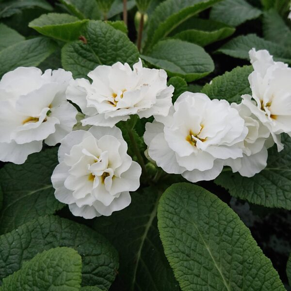Primula vulgaris 'Queen' (Dobbelt Primula)