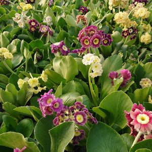 Primula x pubescens (Have Aurikel)