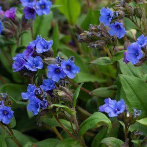 Pulmonaria 'Blue Ensign' (Lungeurt)