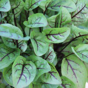 Rumex sanguineus (Rødbladet syre)