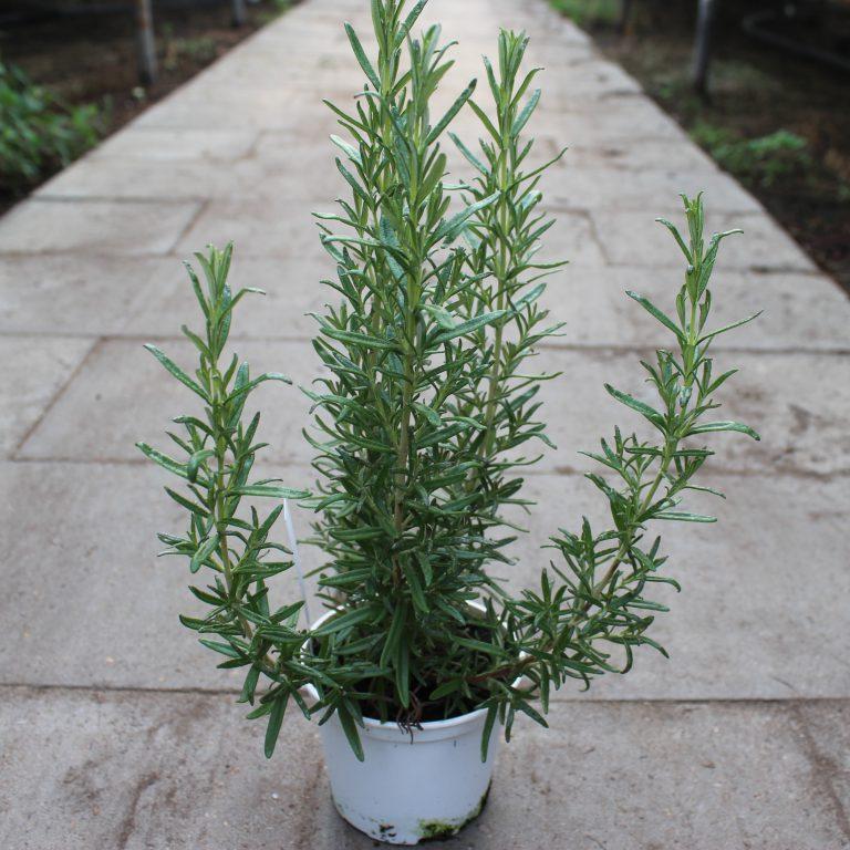 Rosmarinus officinalis 'Barbecue' (Rosmarin)