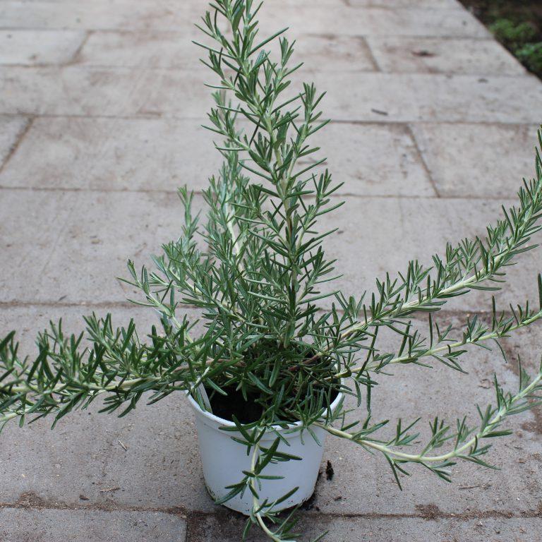 Rosmarinus officinalis 'Foxtail' (Rosmarin)