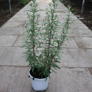Rosmarinus officinalis 'Upright' (Rosmarin)