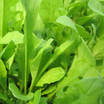 Eruca sativa (Rucola)