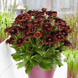 Rudbeckia x h. 'Summerina Pumpernickel' (Solhat)
