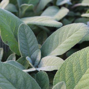 Salvia 'Maxima' (Salvie)