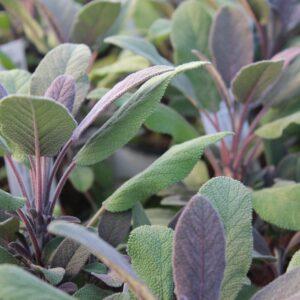 Salvia officinalis 'Purpurascens' (Rødbladet Salvie)