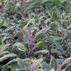 Salvia officinalis 'Tricolor' (Broget Salvie)