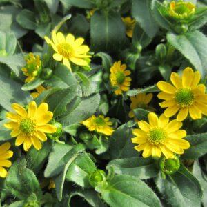 Sanvitalia speciosa (Solknap)
