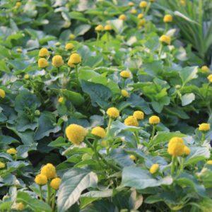 Spilanthes oleracea (Parakarse / Tandpineplante)