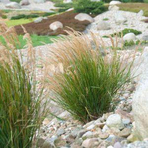 Stipa calamagrostis (Sølvaks)