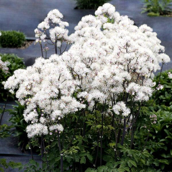 Thalictrum aquilegifolium 'Nimbus White' (Akelejefrøstjerne)