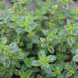 Thymus citriodorus 'Variegated' (Gylden Citrontimian)