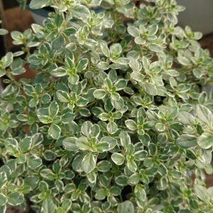 Thymus ssp 'Sparkling Bright' (Prydtimian)