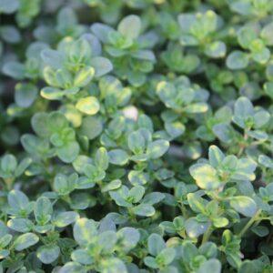 Thymus citrodorus 'Doone Valley' (Gulbroget Citrontimian)
