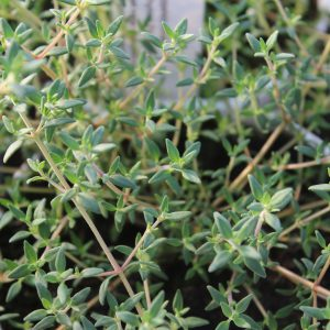 Thymus citriodorus 'Fragrantissimus Orange' (Appelsin-Timian)