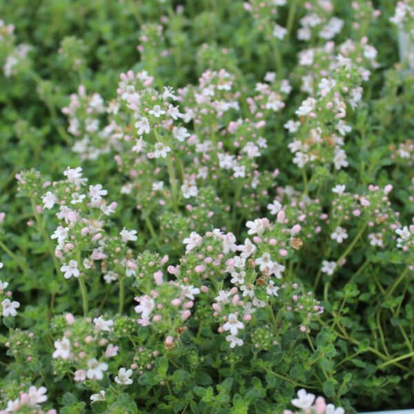 Thymus serpyllum 'Pink Chintz' (Smalbladet timian)