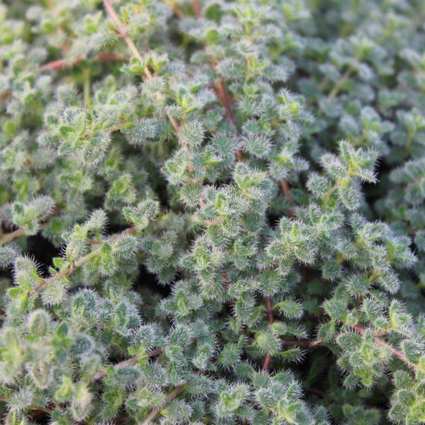 Thymus pseudoanuginosus 'Wooly (Lodden Timian)