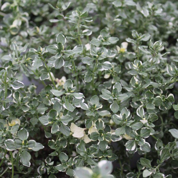 Thymus pulegioides 'Foxley' (Bredbladet Timian)