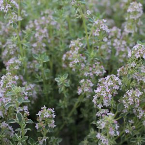 Thymus vulgaris 'Silver Posie' (Gråboget timian)