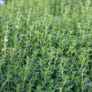 Thymus vulgaris 'Compactus' (Kompakt Timian)