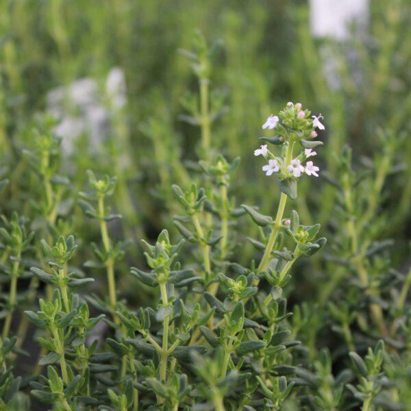 Thymus vulgaris 'Faustinoi' (Kompakt Timian)