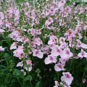 Diascia barberae (Tvillingeblomst / Flying Colors)