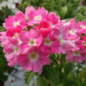 Verbena x hybrida Alm. Verbena