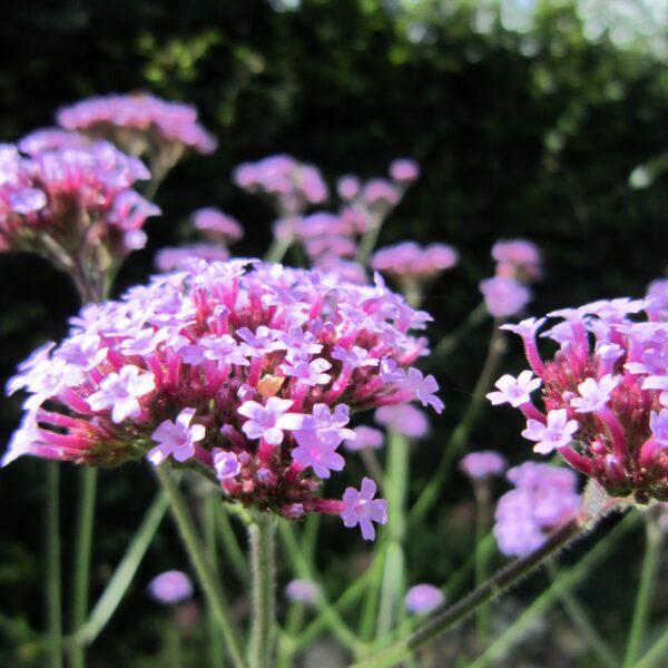Verbena bonariensis (Kæmpe Verbena)