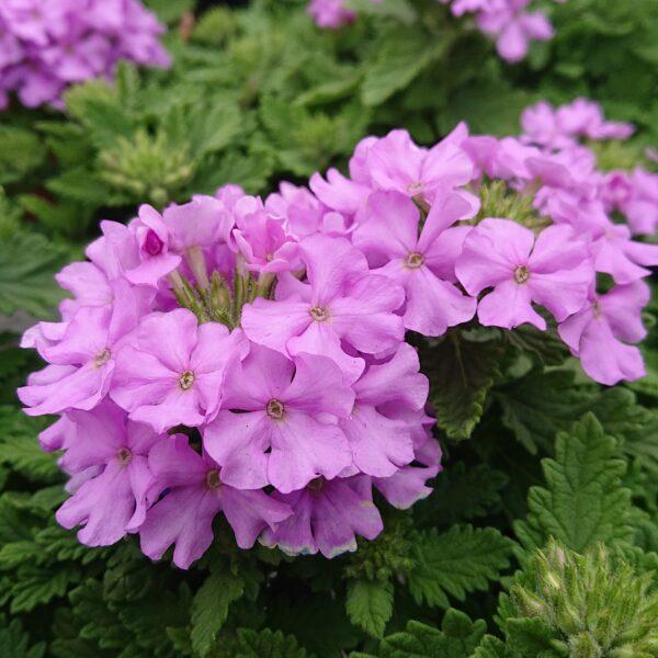 Verbena x hybrida (Hænge Verbena)