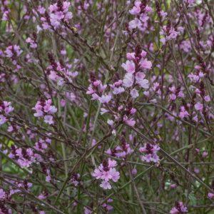 Verbena officinalis 'Bampton' (Lægeverbena)
