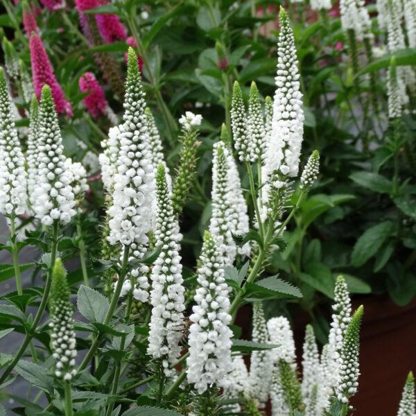 Veronica longifolia 'First Lady' (Langbladet ærenpris)