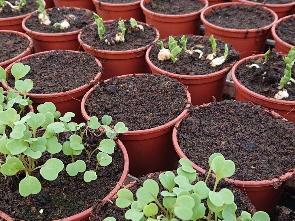 Produktion af krydderurter hos lundagers gartneri