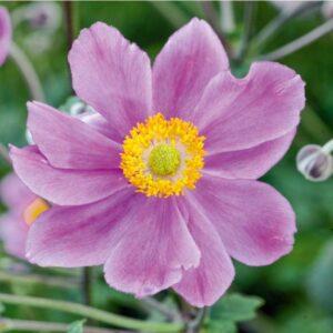 Anemone hupehensis 'Serenade' Høstanemone