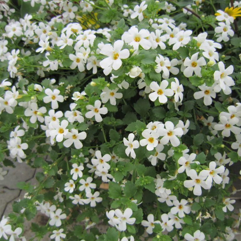Sutera diffusus (Bacopa / Snowflake / Snedrys)