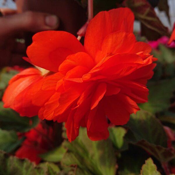 Begonia tuberhybrida 'Belina' (Hænge Begonie)