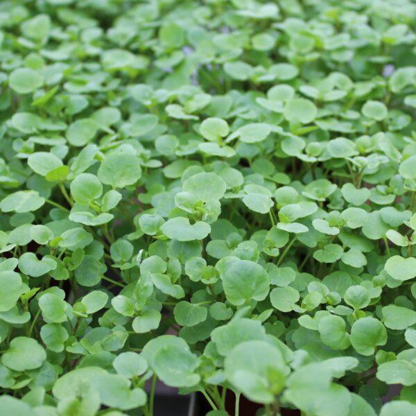 Nasturtium officinalis (Brøndkarse)