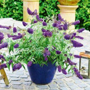 Buddeleja 'Summer Bird Comp. Purple' Sommerfuglebusk