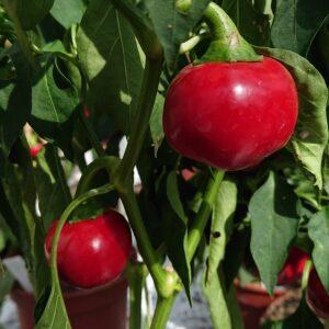 Chilipeber 'Cherry Bomb'