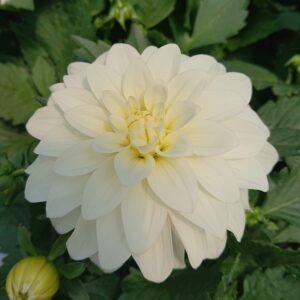 Dahlia x hybrida (Geogin)